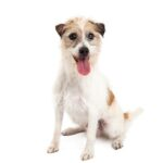 Petland Aurora Jack Russell Terrier