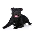 Petland Naperville Staffordshire Bull Terrier