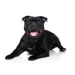 Petland Aurora Staffordshire Bull Terrier