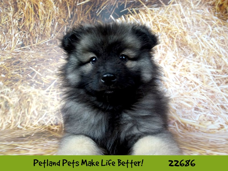 Keeshond-Male-Silver and Black-2532190-Petland Naperville