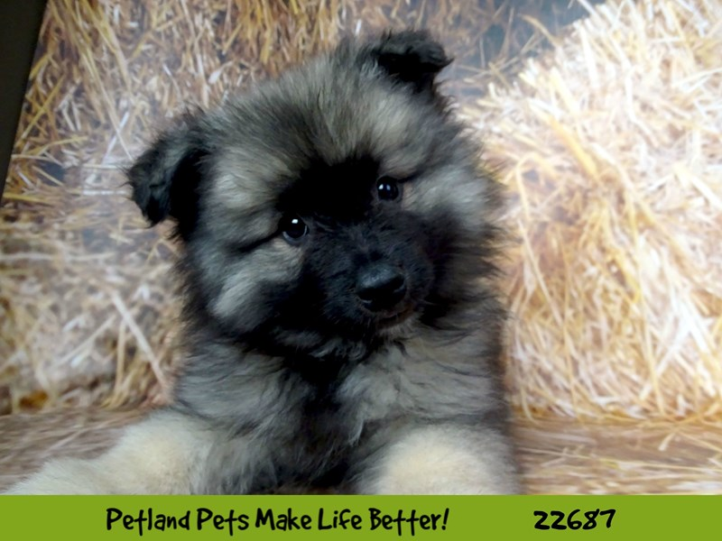 Keeshond-Female-Silver and Black-2532197-Petland Naperville