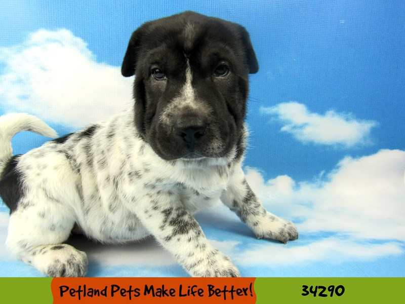 Mini Walrus-DOG-Female-Black and White-2534618-Petland Naperville