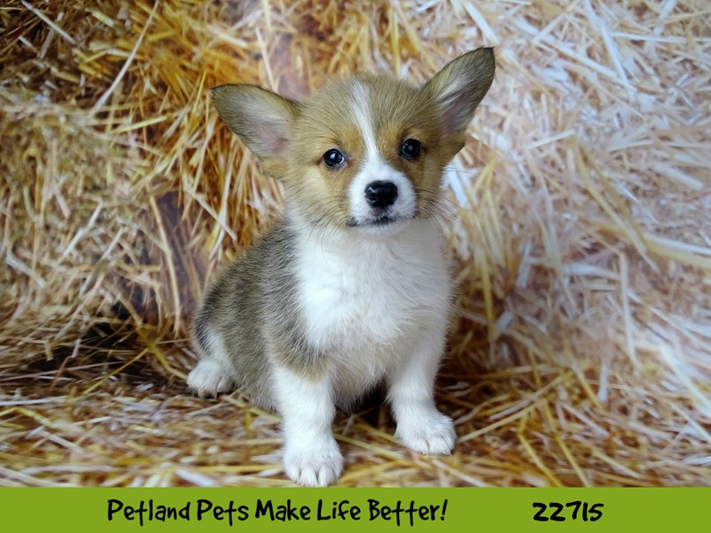Pembroke Welsh Corgi-Female-Sable and White-2539194-Petland Naperville