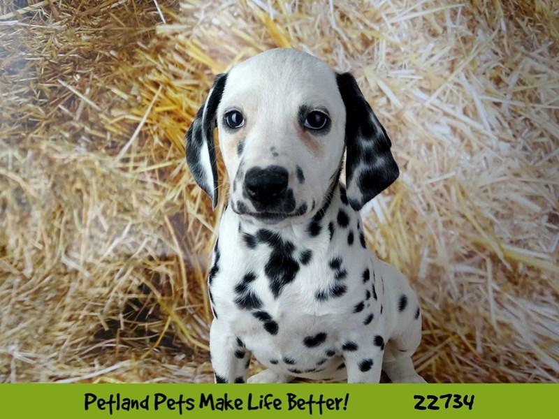 Dalmatian-DOG-Female-Black / White-2544997-Petland Naperville
