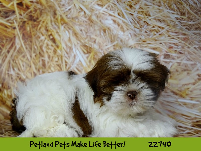 Shih Tzu-Male-Brown and White-2545151-Petland Naperville