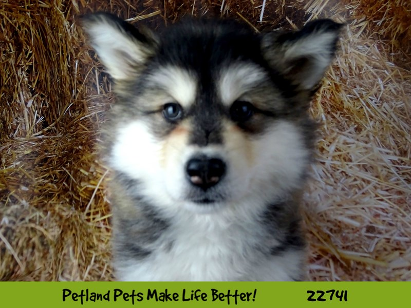 Alaskan Malamute-Female-Grey and White-2545165-Petland Naperville