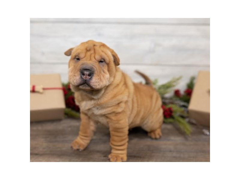 Chinese Shar-Pei-DOG-Male-Red-2549998-Petland Naperville