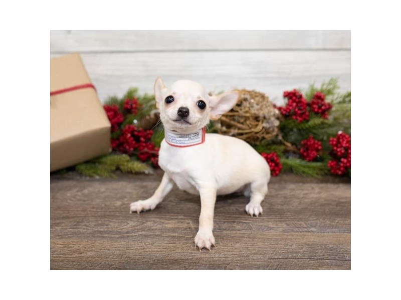 Chihuahua-Female-Cream-2550008-Petland Naperville