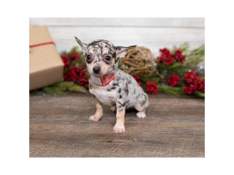 Chihuahua-Male-Blue Merle-2550009-Petland Naperville