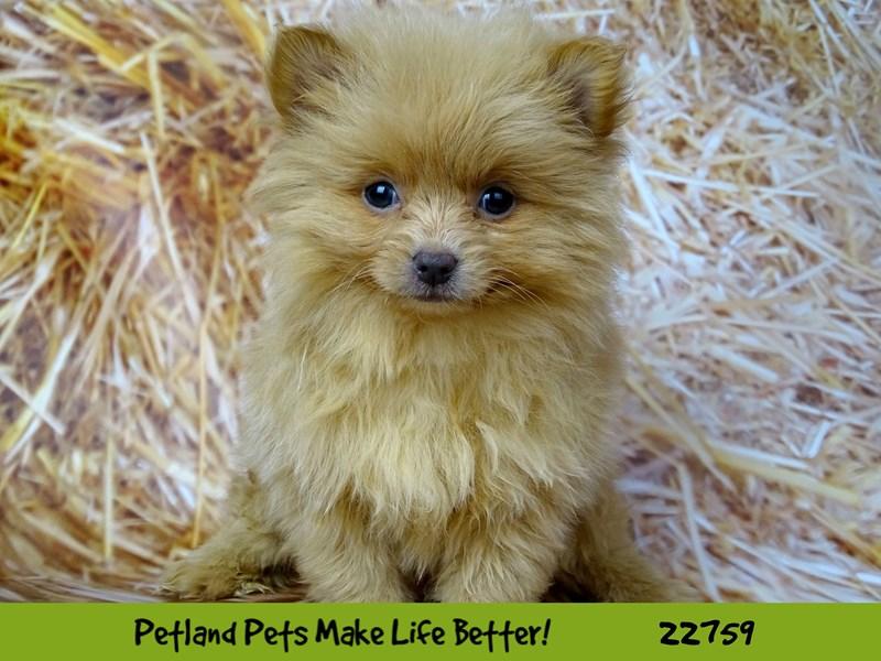 Shiranian-DOG-Female-Black and Tan parti-2550247-Petland Naperville