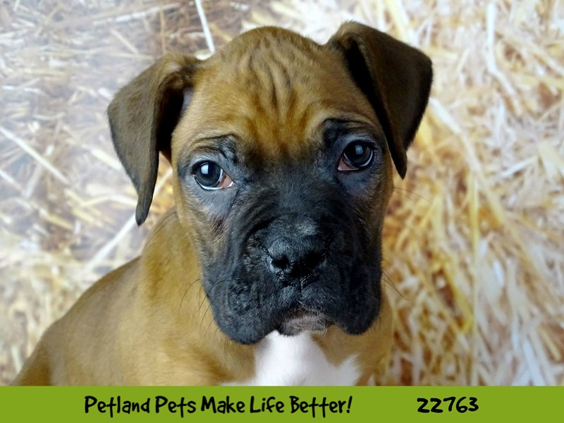 Boxer-Male-Fawn-2555677-Petland Naperville
