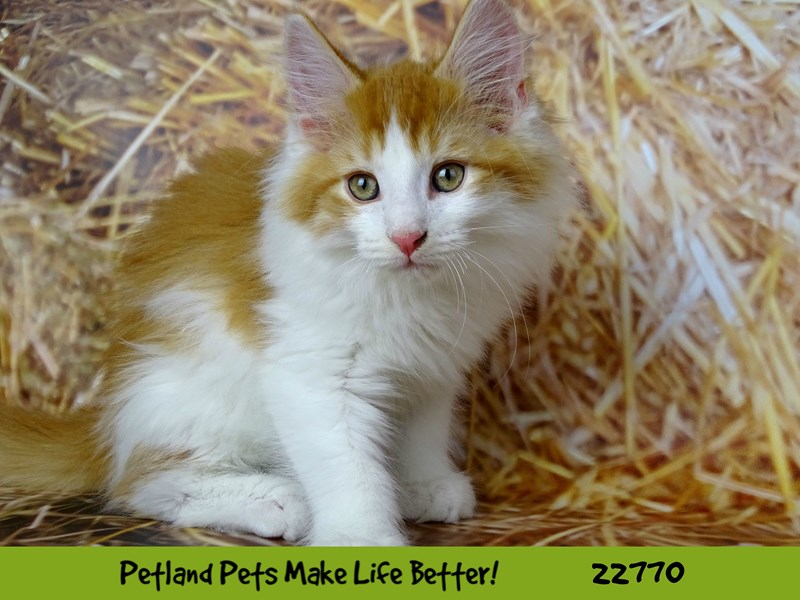 Maine Coon-Male-Red / White-2555644-Petland Naperville