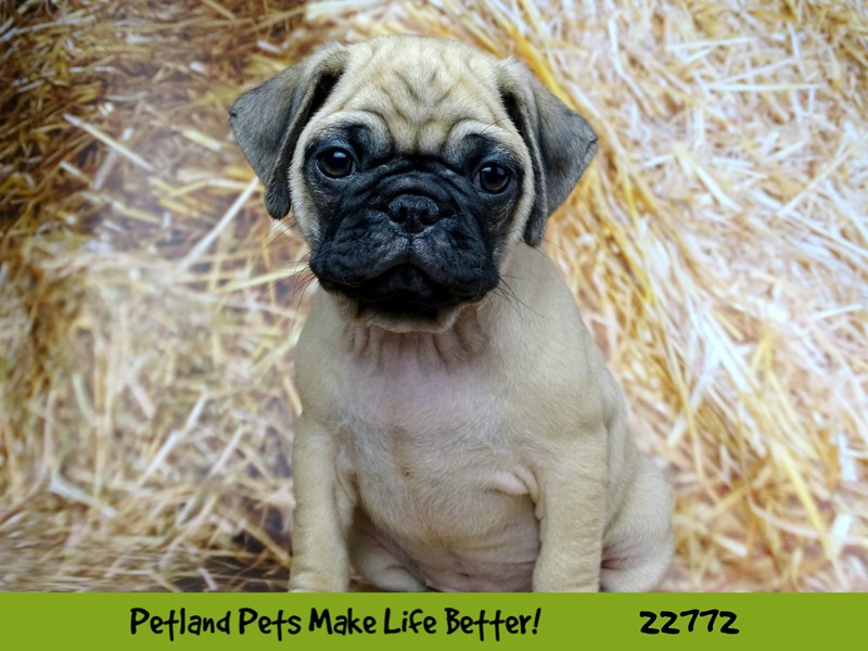 Pug-DOG-Female-Fawn-2555987-Petland Naperville