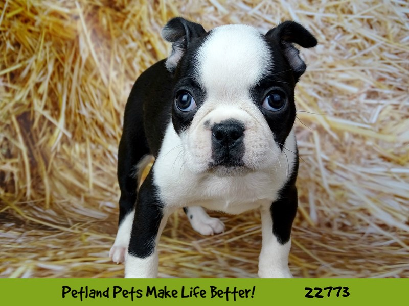 Boston Terrier-Female-Black and White-2556020-Petland Naperville
