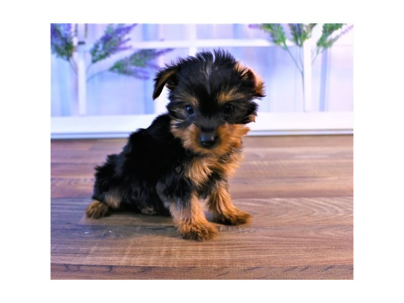 Yorkshire Terrier-Male-Black / Tan-2557653-Petland Naperville