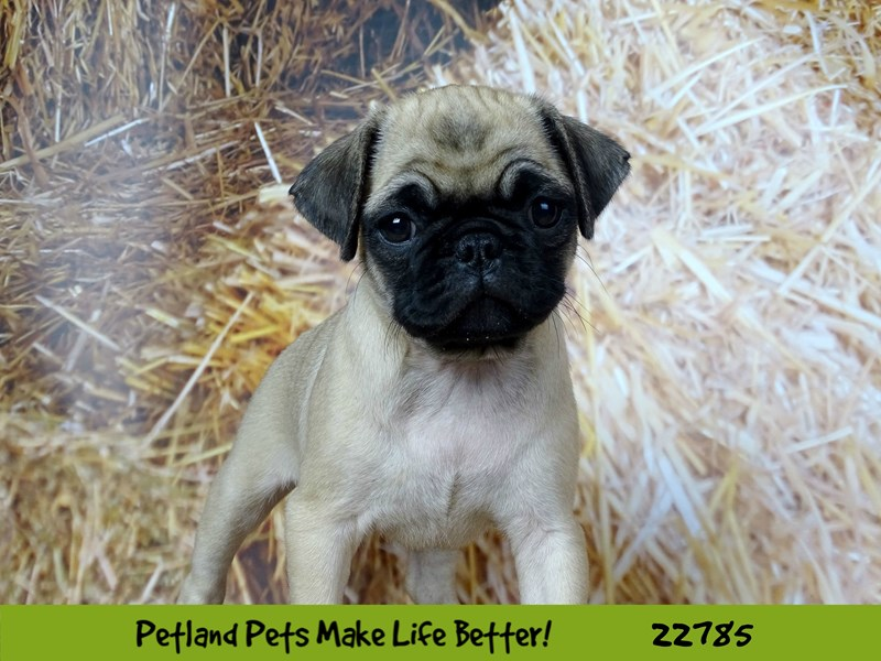 Pug-Female-Fawn-2563168-Petland Naperville