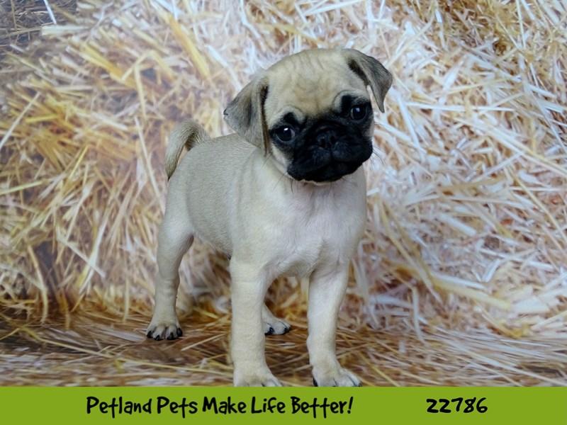 Pug-Male-Fawn-2563189-Petland Naperville