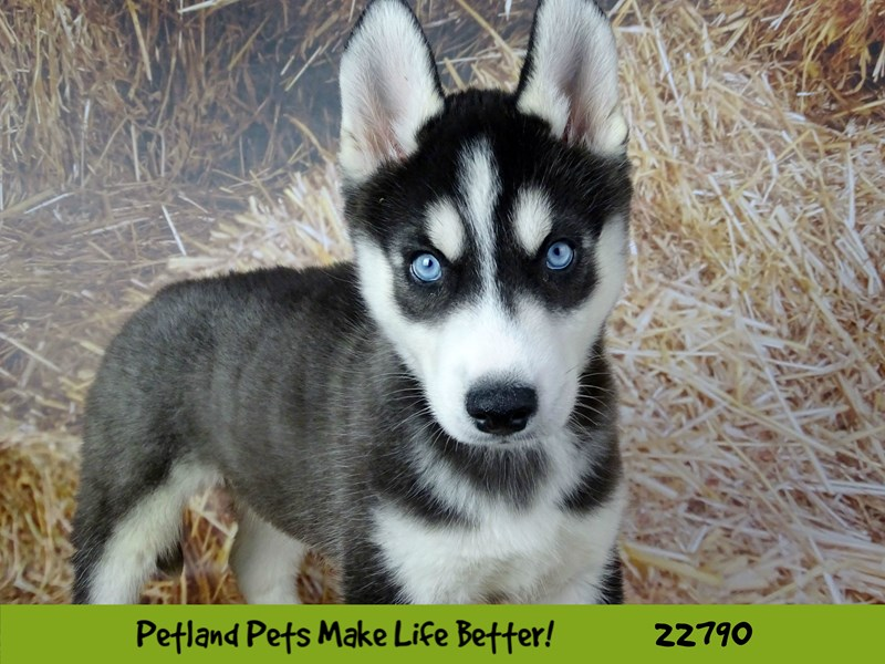 Siberian Husky-Male-Black and White-2563440-Petland Naperville