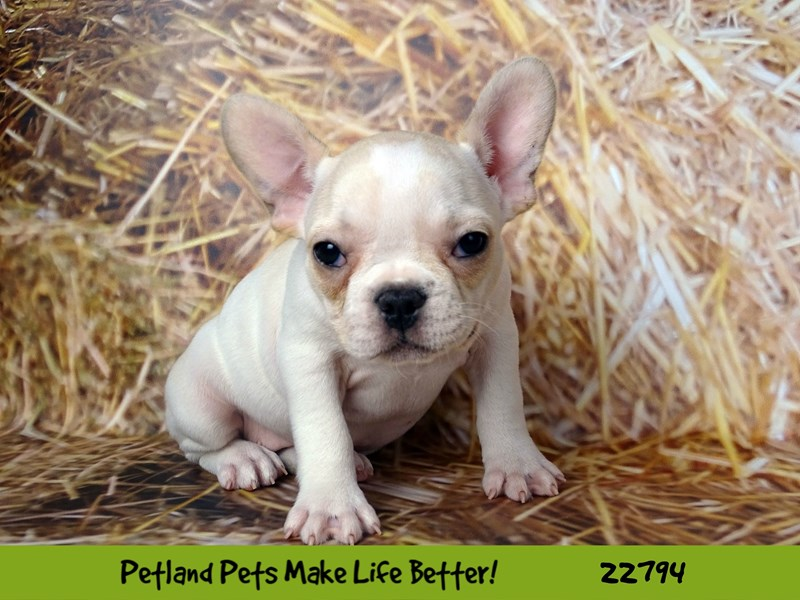 French Bulldog-Female-Cream-2565438-Petland Naperville