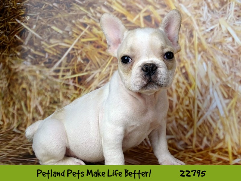 French Bulldog-Male-Cream-2565439-Petland Naperville