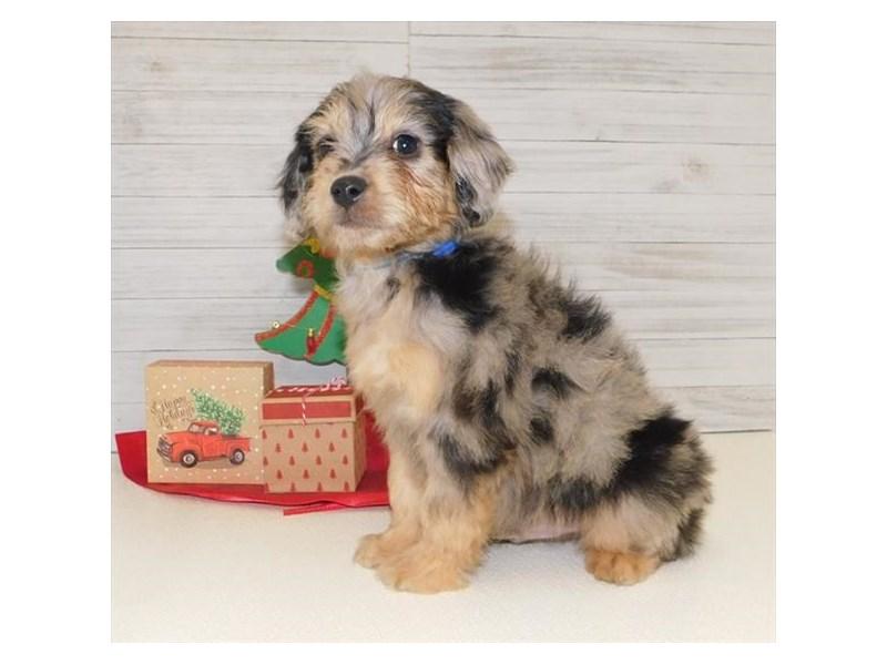 Aussiedoodle Mini-DOG-Male-Blue Merle-2569556-Petland Naperville