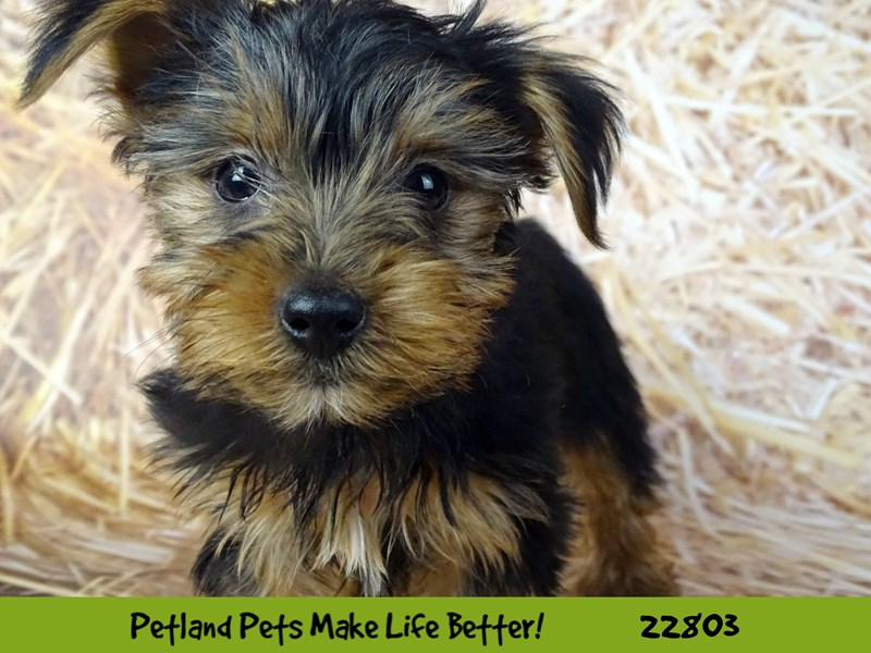 Yorkshire Terrier-Male-Black and Tan-2570050-Petland Naperville