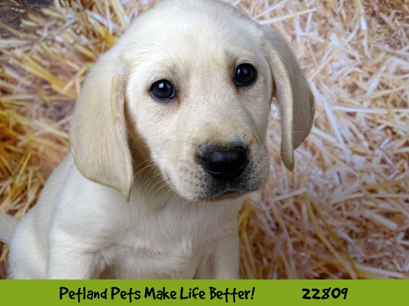 Labrador Retriever-Male-Yellow-2570111-Petland Naperville