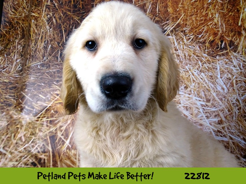 Golden Retriever-Male-Golden-2570140-Petland Naperville