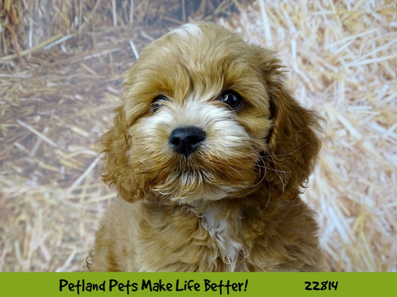 Cockapoo-Female-Red and White-2570151-Petland Naperville
