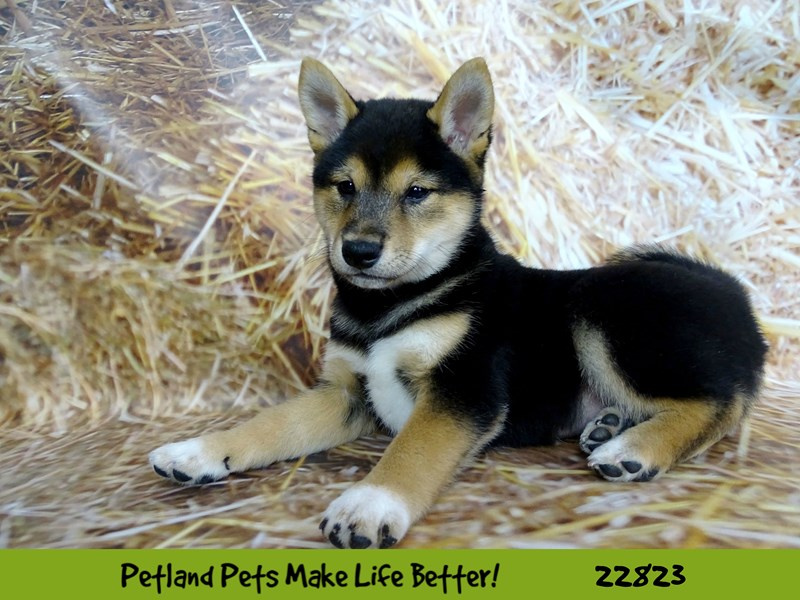 Shiba Inu-Male-Black and Tan-2575417-Petland Naperville