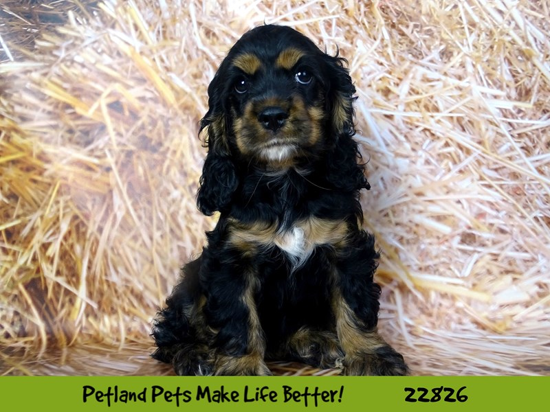 Cocker Spaniel-Female-Black and Tan-2575471-Petland Naperville