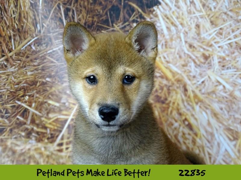 Shiba Inu-Male-Red Sesame-2575490-Petland Naperville