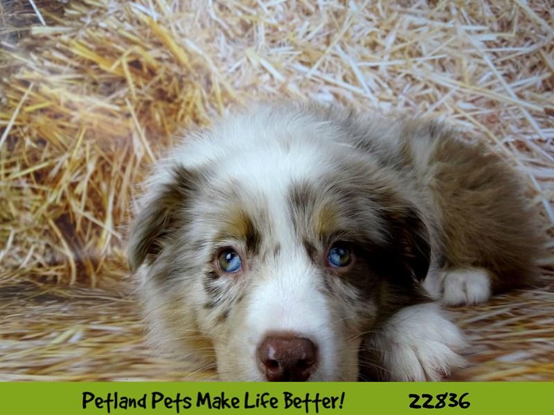 Australian Shepherd-DOG-Female-Red Merle-2575489-Petland Naperville