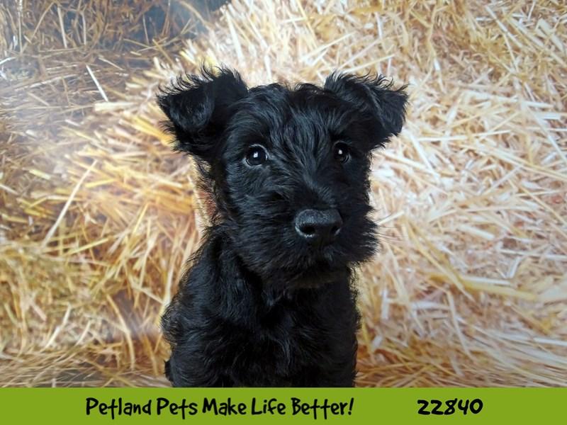 Scottish Terrier-DOG-Male-Black-2575488-Petland Naperville