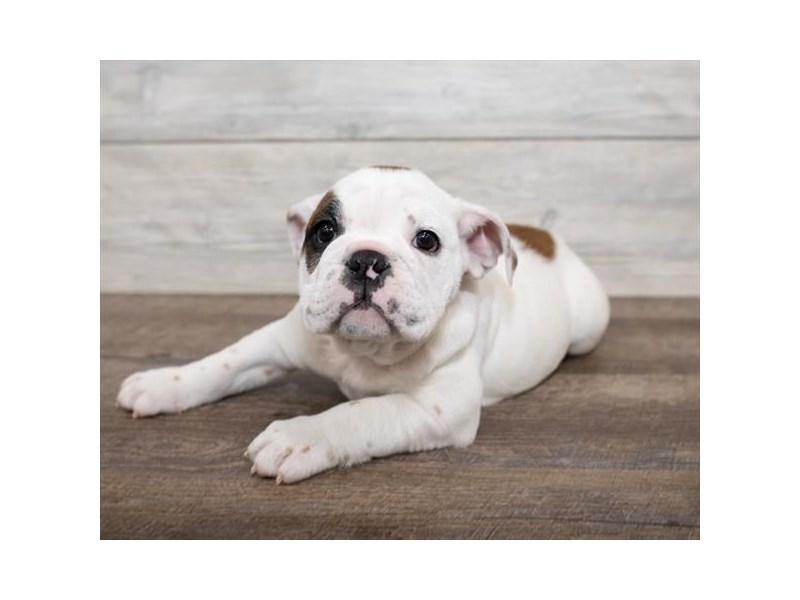 Bulldog-Female-Red-2576508-Petland Naperville