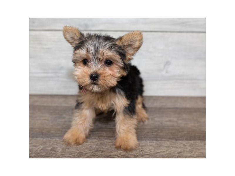 Yorkshire Terrier-Female-Black and Tan-2576585-Petland Naperville