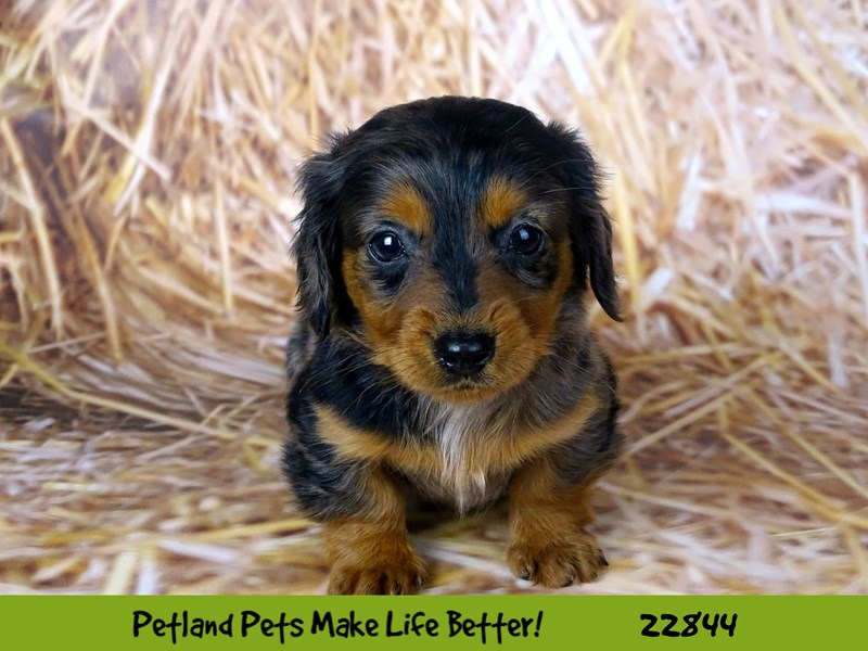 Dachshund-Female-Black / Tan-2576516-Petland Naperville