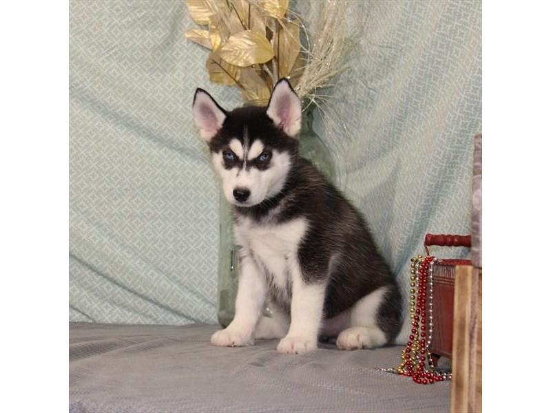 Siberian Husky-Female-Black / White-2584448-Petland Naperville
