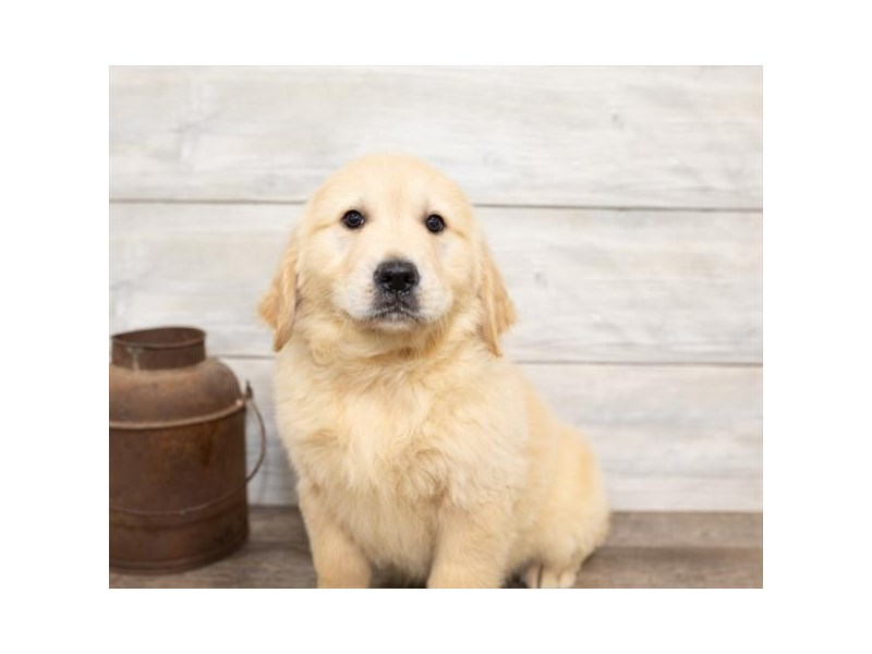 Golden Retriever-DOG-Female-Golden-2584453-Petland Naperville
