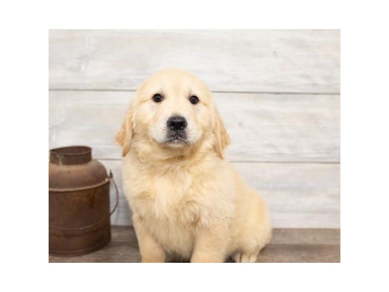 Golden Retriever-DOG-Female-Golden-2584453-Petland Aurora