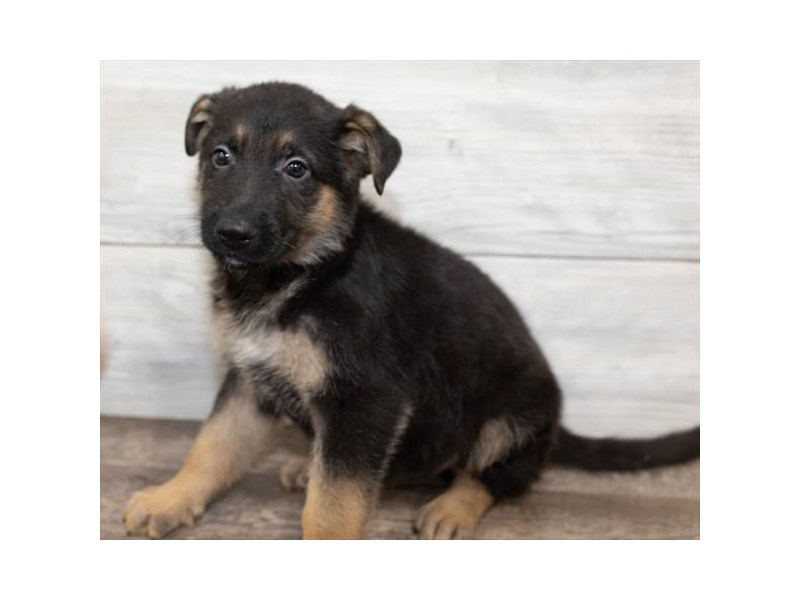 German Shepherd Dog-Male-Black / Tan-2584460-Petland Naperville