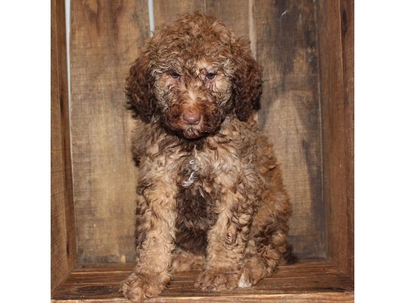 Goldendoodle-DOG-Male-Chocolate-2584469-Petland Naperville