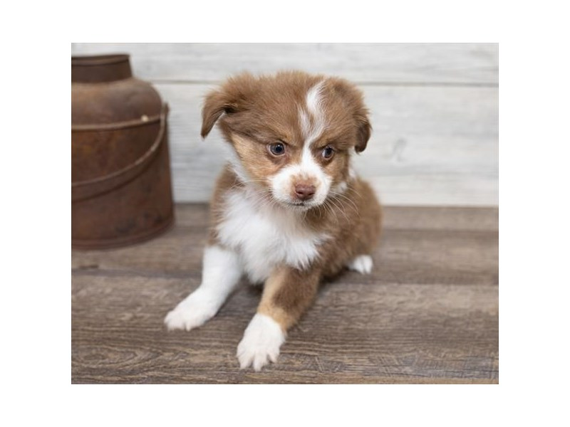 Toy Australian Shepherd-Male-Red-2584659-Petland Naperville