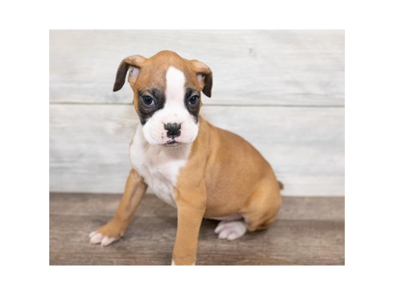 Boxer-Female-Fawn / White-2584662-Petland Naperville