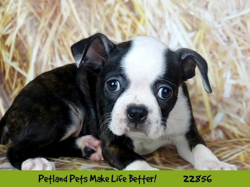 Boston Terrier-Female-Black and White-2584668-Petland Naperville