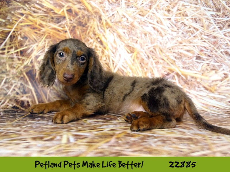 Dachshund-Male-Chocolate / Tan-2589750-Petland Naperville