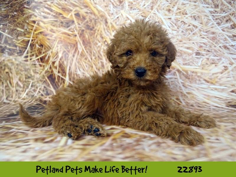 Mini Goldendoodle-DOG-Female-Red-2590195-Petland Naperville