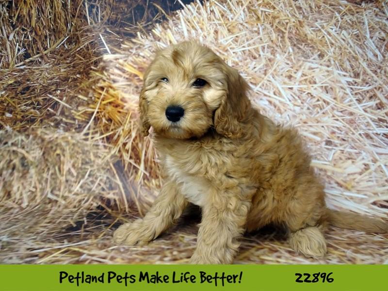 F1B Mini Goldendoodle-Female-Red-2590360-Petland Naperville