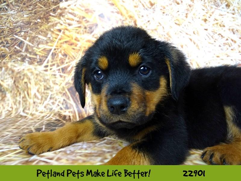 Rottweiler-Male-Black / Rust-2591693-Petland Naperville