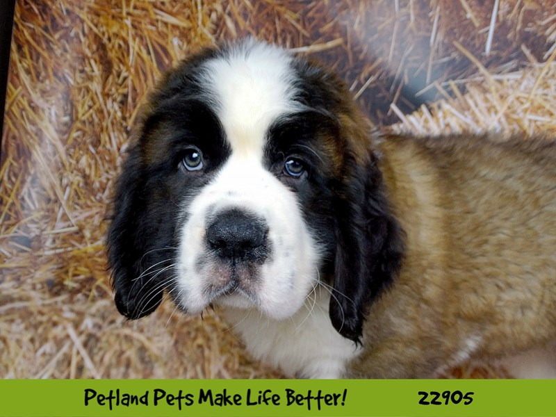 Saint Bernard-DOG-Male-Brown and White-2597823-Petland Naperville